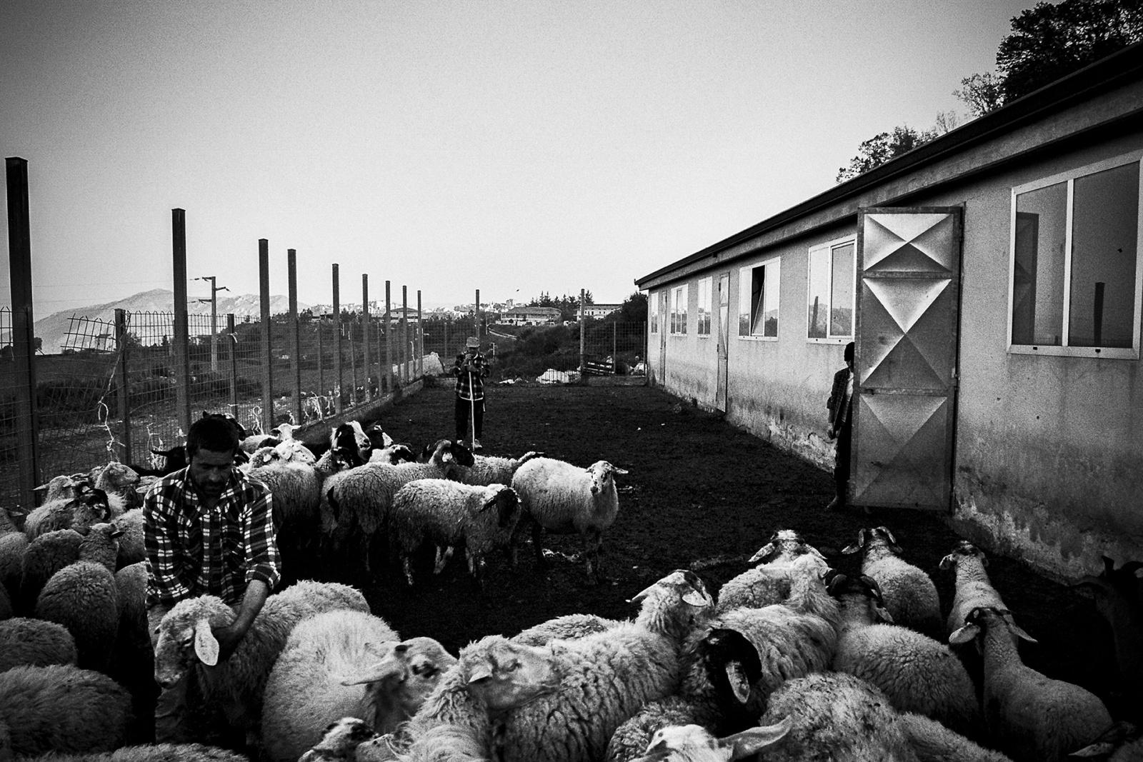 Pastori al lavoro presso l'ovile dell'Agriturismo Il Capitano in località Mozzone. © Valentino Petrosino.