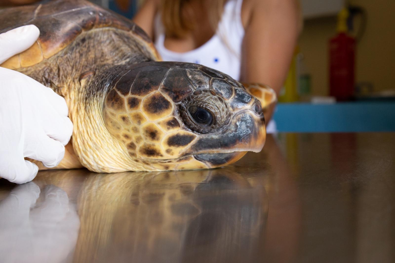 Tartaruga Caretta Caretta sul lettino della sala operatoria presso il Centro Recupero Animali Marini Asinara (CRAMA). Dal 2013 la Caretta Caretta è nella lista dell'IUCN (Unione Mondiale per la Conservazione della Natura) come specie in pericolo di estinzione. © Andrea Puxeddu.